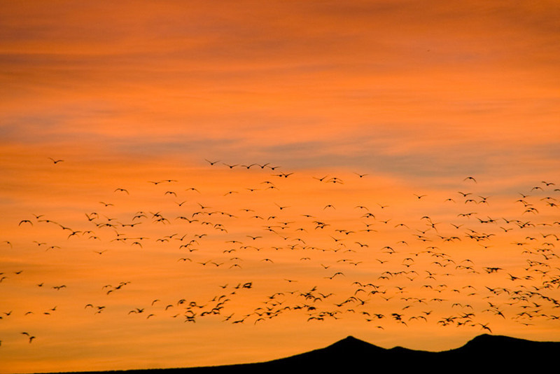 Snow Geese at Bosque - circling as they decide where to go feed.