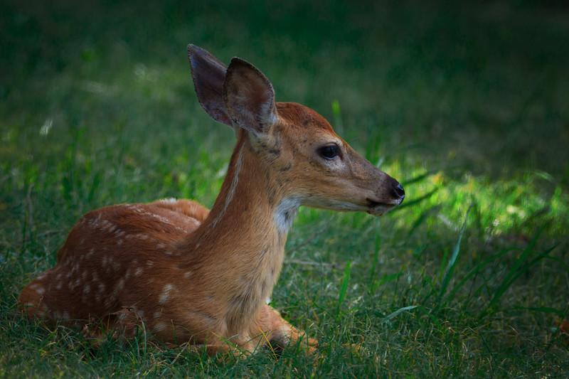 5.22.18 - Prairie Creek Recreation Area: Whitetail fawn