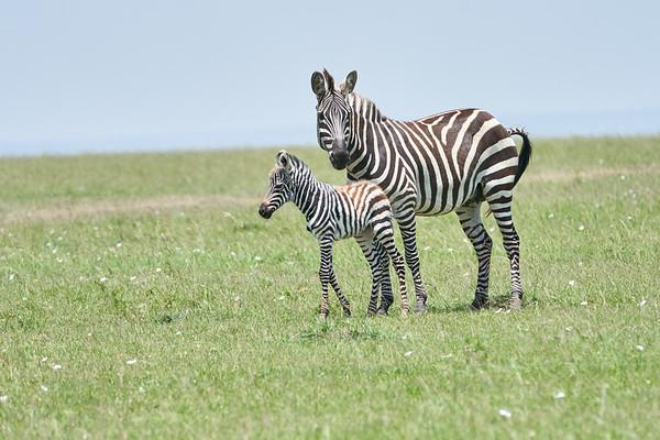 Zebra Mother and Child Mara Kenya 2018