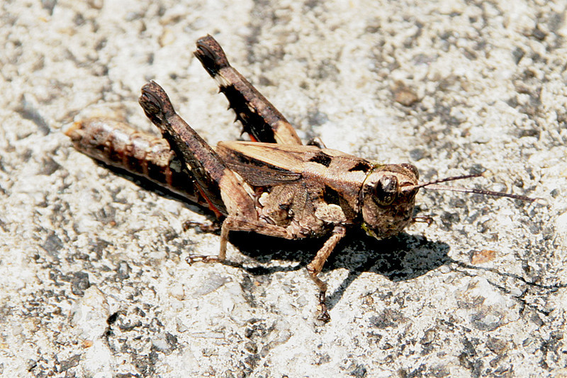 Tai Lam Country Park, MecLehose Trail Section 9, Grasshopper