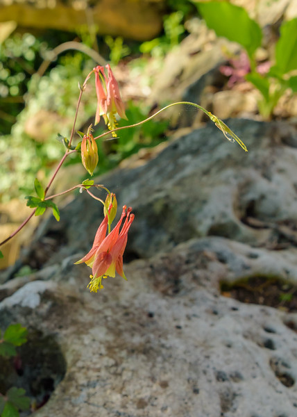 Wild red columbine (Eastern red columbine)