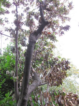 Fair Oaks Trees