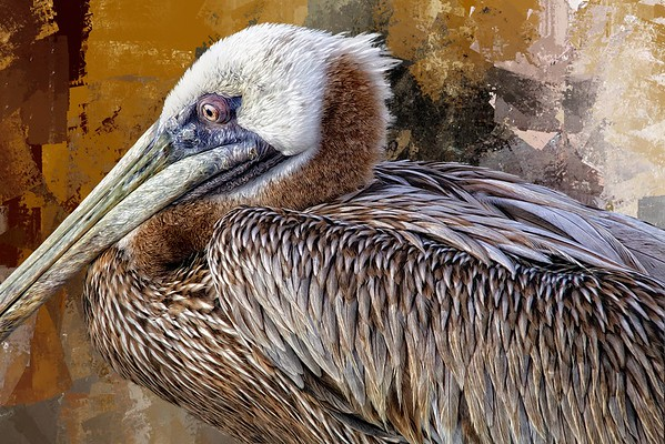 Brown Pelican Closeup with Assortment Of Textures