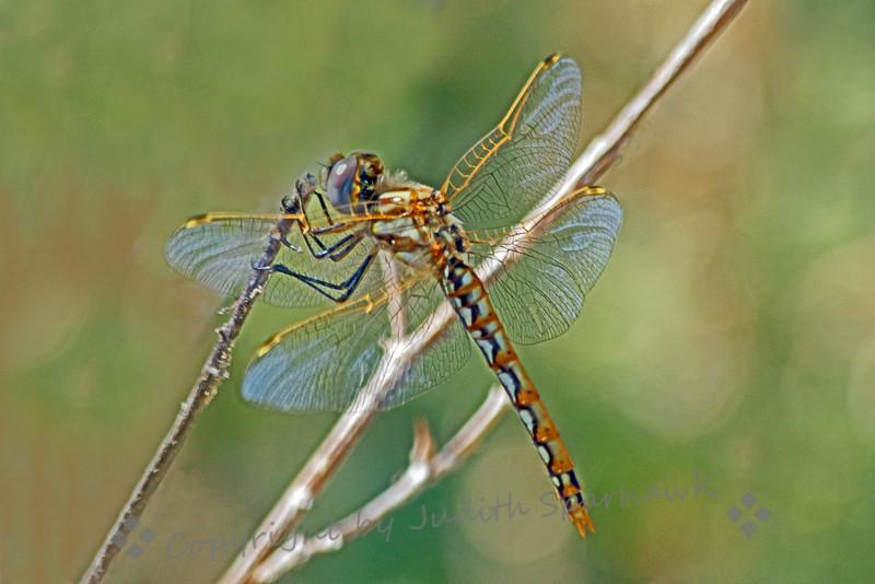 Variegated Meadowhawk Female