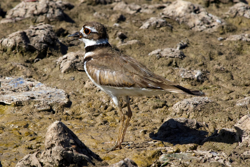 Killdeer camouflaged by the mud of the Meyerland Basin, Houston