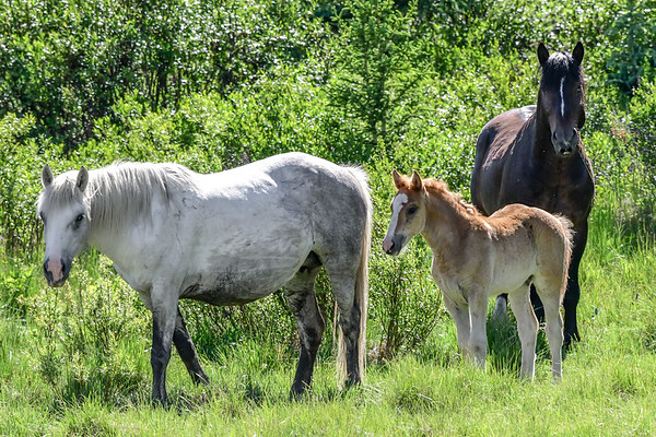 6-25-18 Ab. Wildies - 2nd Gray Mare & Foal