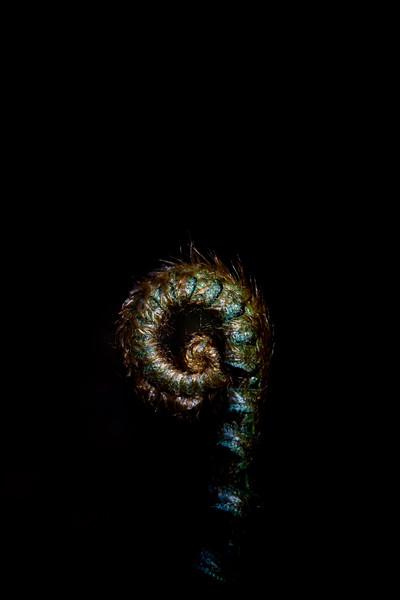 Fern Curl
