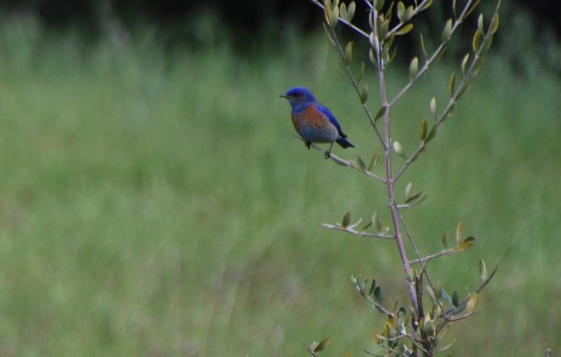 Western Bluebird.JPG