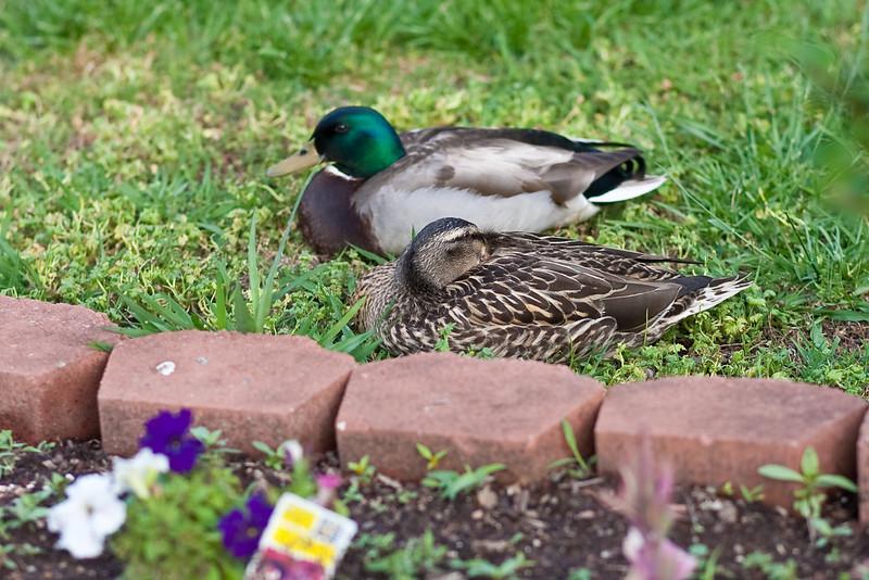 04/19/2012 - Quack!