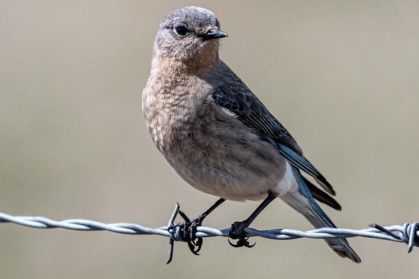 5-13-20 Western Blue Birds