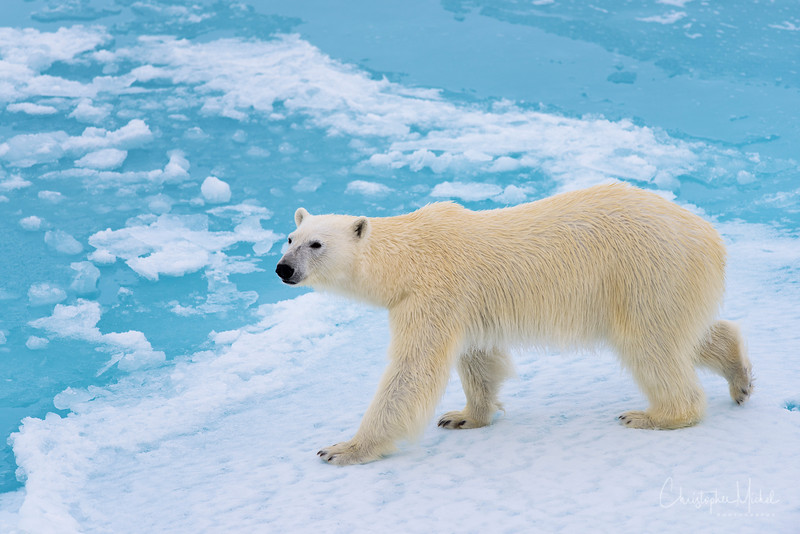 Polar Bear on Ice 6.jpg