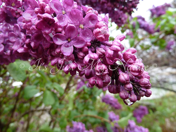 Raindrops on Lilacs