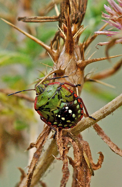 Southern Green Shield Bug, Camargue South of France 2009