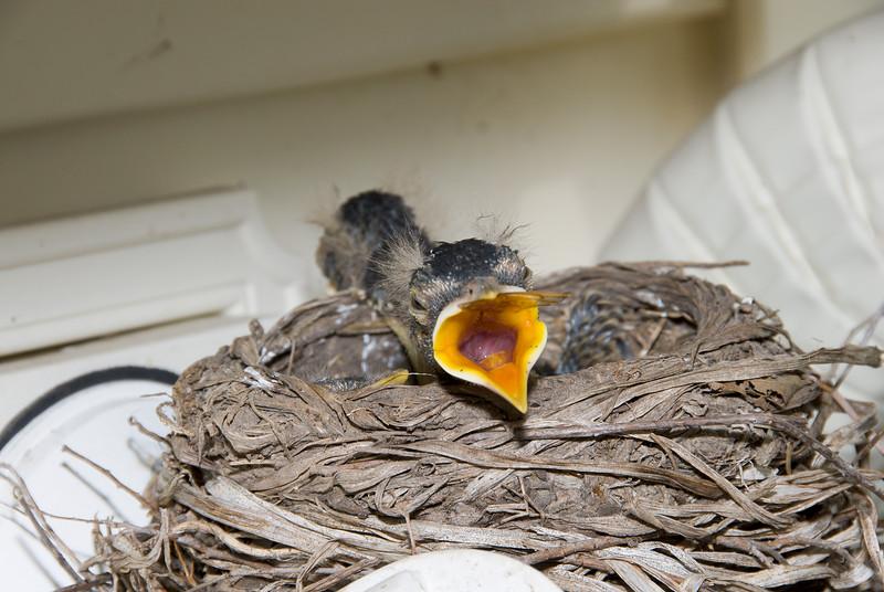 075 Spring 2007 Robin Nest.jpg