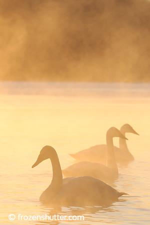 Swan Adventures