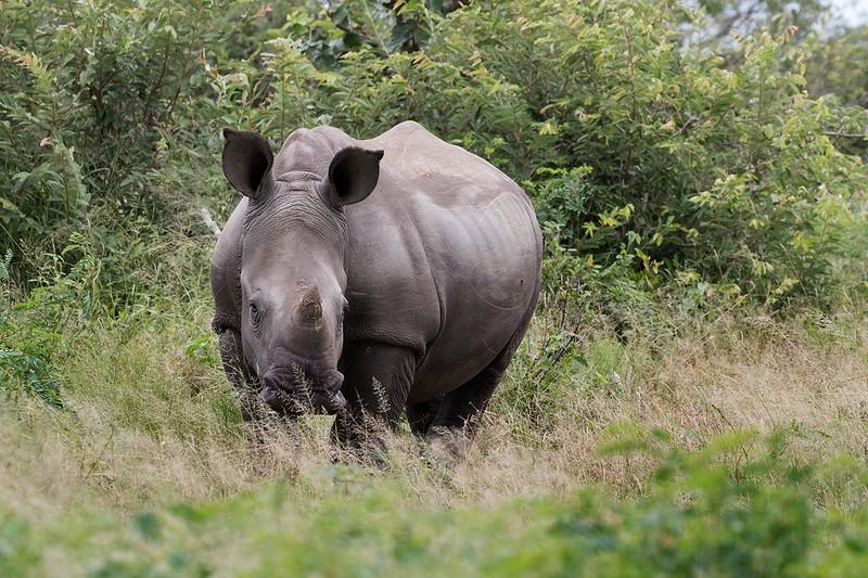 Rhino 1702248907.jpg