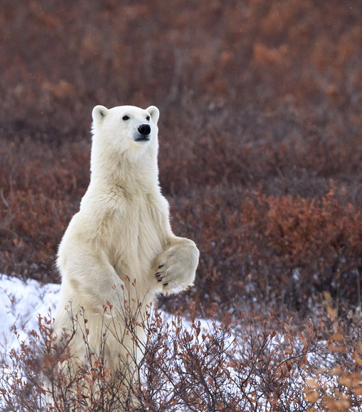 polar bear website 5.jpg