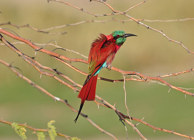 Bee-Eaters / Spinte - Meropidae