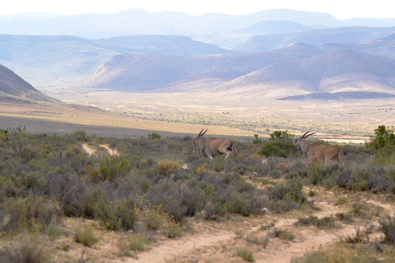 Eland on an african landscape
