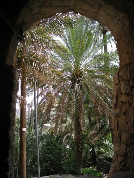 date palm in Misfat al-A'briyeen