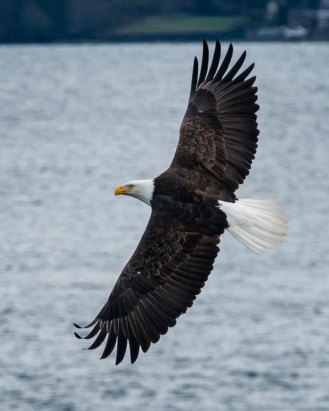 Eagles in Suquamish