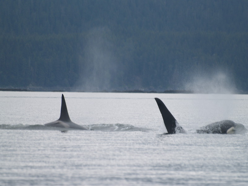 Orca pair