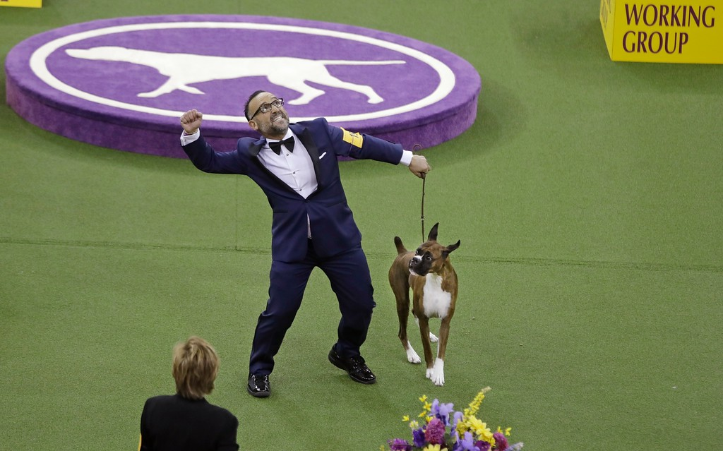. A handler celebrates after Devlin, a boxer, won the working group during the 141st Westminster Kennel Club Dog Show on Tuesday, Feb. 14, 2017, in New York. (AP Photo/Frank Franklin II)