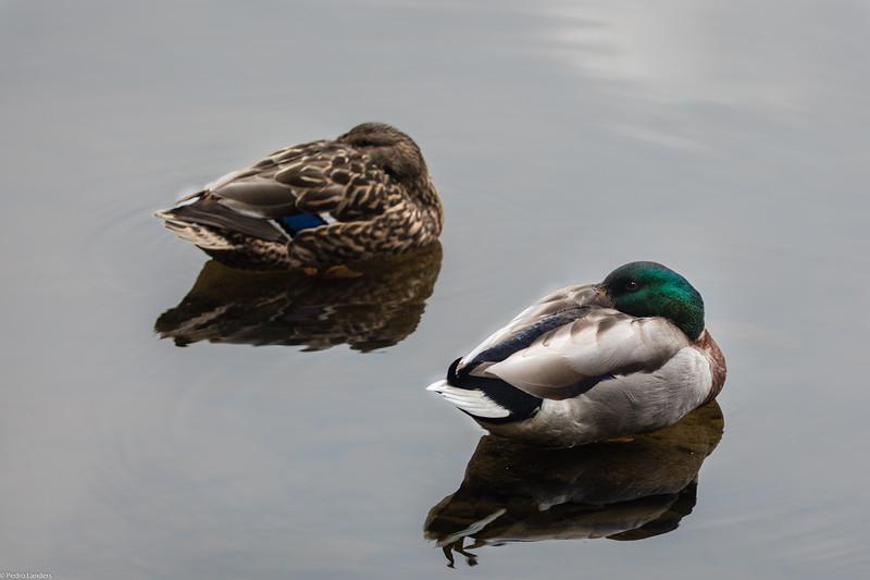 Sleeping Ducks?