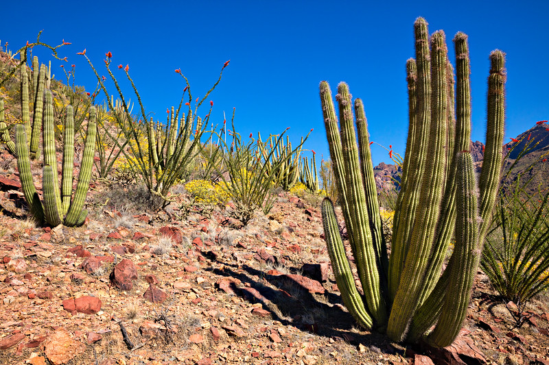 7916 Organ Pipe Cactus