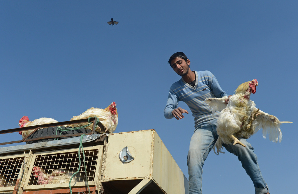 . A Kashmiri poultry seller handles chickens from the roof of a vehicle ahead of the Muslim festival of Eid al-Adha, in Srinagar on October 15, 2013.  AFP PHOTO/Tauseef MUSTAFA/AFP/Getty Images