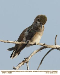 Rufous Hummingbird F29350.jpg