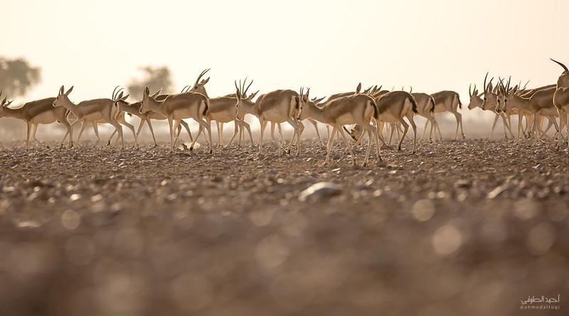 Gazelle (5).jpg