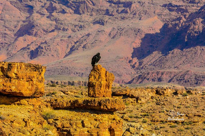 vulture 001-Edit-Edit-Edit.jpg
