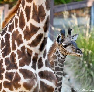 """Leo """"The Baby Masai Giraffe"""""""