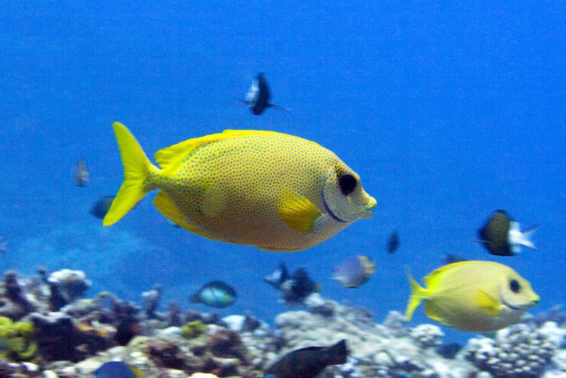Coral Rabbitfish.jpg
