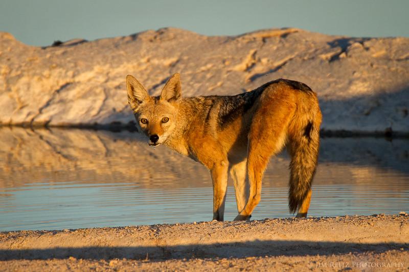Jackal at a water hole, Etosha National Park, Namibia.
