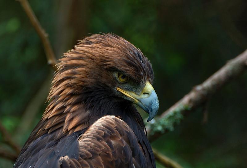 golden_eagle.jpg