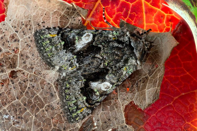 Shell-formed Brocade Moth