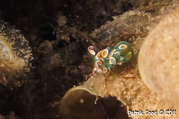 Bold-spotted Anemone Shrimp