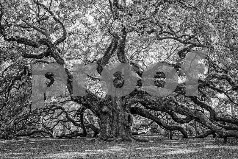 Angel Oak Tree Fine Art (2 of 3).jpg