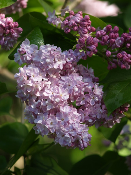 The lilacs were in nearly in full bloom and they were lovely!