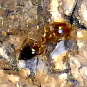 P179CrematogasterLaeviuscula-AcrobatAnt286 Mar. 28, 2019  7:05 a.m.  P1790286 Acrobat ants were everywhere at LBJ WC today.  Do the unusual numbers have an identifiable cause?  They move from ground to trees for the summer.  Acrobats are in Crematogaster and almost all of ours are C. laeviuscula.  Formicid.