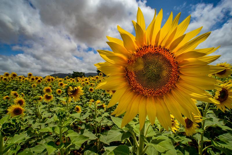 Sunflower-Gundulpet-1.jpg