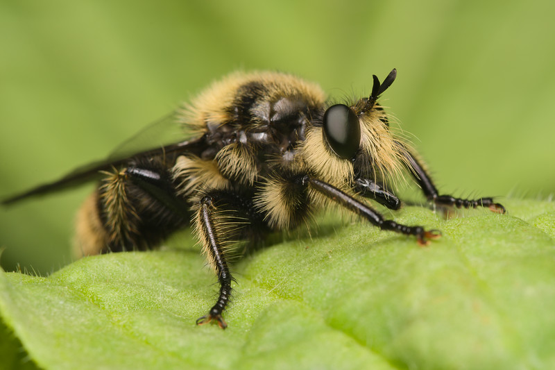 Beeish Robber Fly