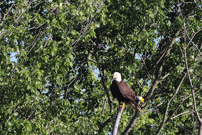 Eagle Mobbed by Oriole