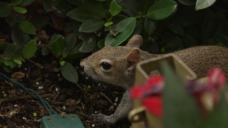A friendly squirrel in City Place in West Palm Beach hanging out at the base of a date palm tree trunk near Starbucks on Tuesday, March 7, 2017. (Joseph Forzano / The Palm Beach Post)