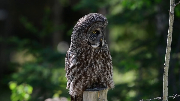 5-25-16 Short Video - Great Gray Owl - Silence
