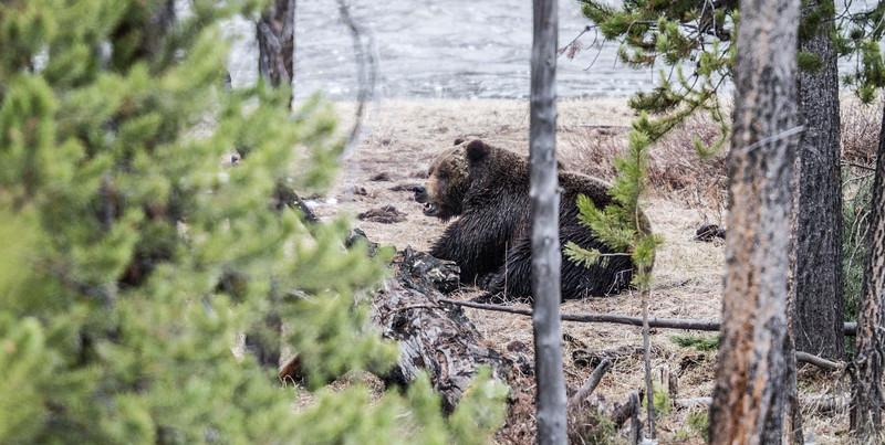 Grizzly bear boar male Yellowstone National Park WY IMG_0421.jpg