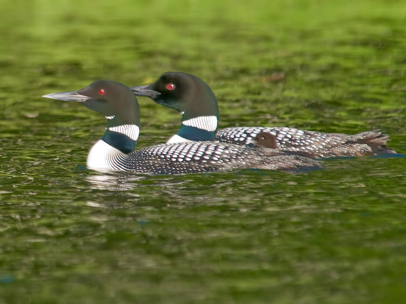 Loon - Common with baby - Dunning Lake, MN - 16