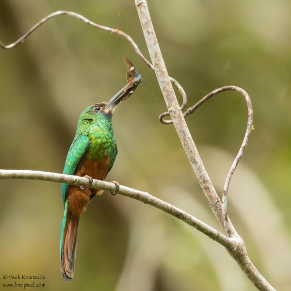 White-chinned Jacamar - Amazon, Ecuador